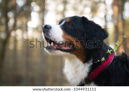 Bernese mountain dog posing in forest background. Dog portrait outside. #1044931111