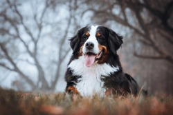 Bernese mountain dog posing in Lithuania fog. Beautiful Lithuanian park in Panemune.