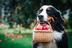 Bernese mountain dog posing with apples in green garden. Full basket of apples with dog.