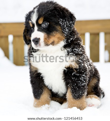 Bernese mountain dog puppet looking curiously after movement