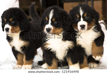 Bernese mountain dog puppets watching seriously after movement - stock photo