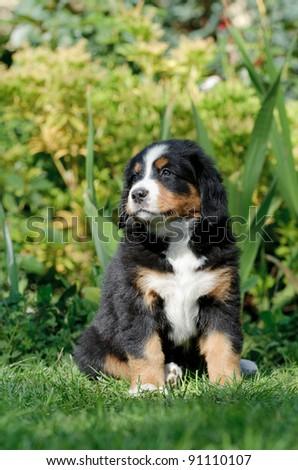 Bernese Mountain Dog puppy portrait in garden
