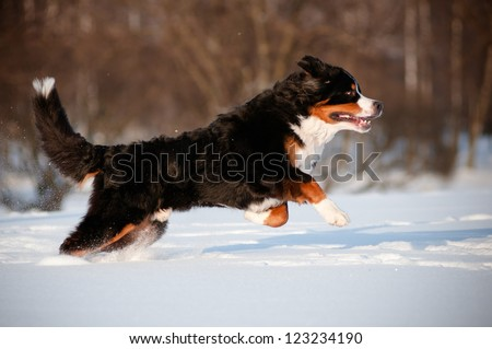 bernese mountain dog running and jumping