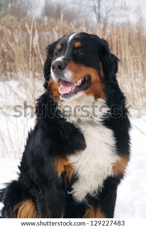 bernese mountain dog sitting at the show dry reed