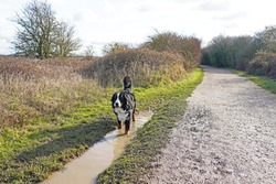 Bernese Mountain Dog walking in the puddle, next to a path
