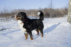 bernese mountain dog with snow on a nose on winter snowy weather. funny pet walking through the snow drifts