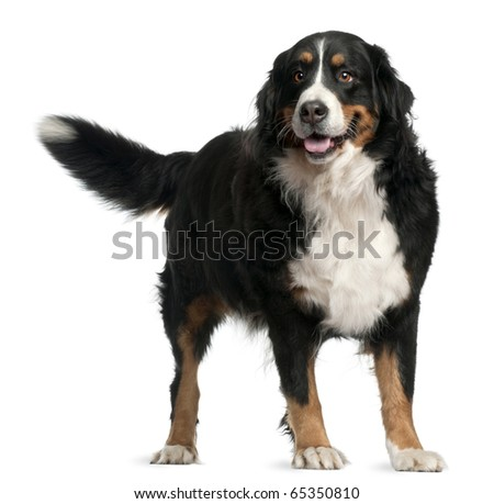Bernese mountain dog, 4 years old, standing in front of white background