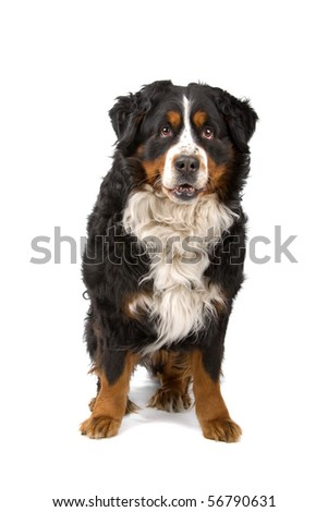 bernese mountain or berner sennenhund dog sitting and looking at camera, isolated on a white background