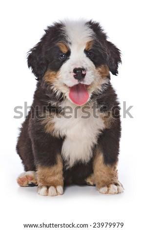 Bernese Mountain puppy on white