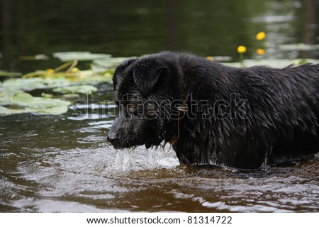 Bernese sennenhund half breed playing in the water