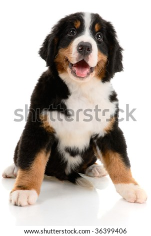 bernese sennenhund  pup on a white background