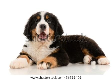 bernese sennenhund  pup on a white background