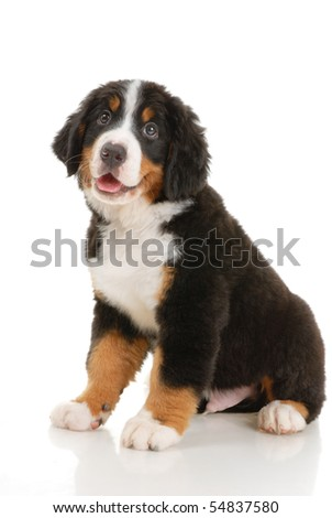 Bernese sennenhund  puppy on a white background