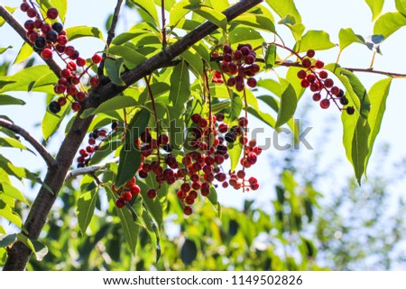 berries, a tree with berries, branches with berries #1149502826