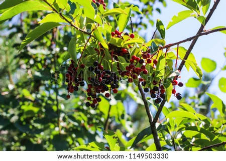 berries, a tree with berries, branches with berries #1149503330