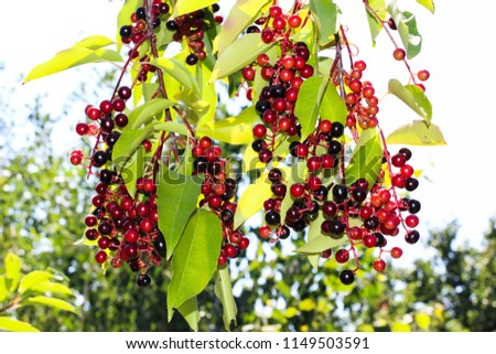 berries, a tree with berries, branches with berries #1149503591