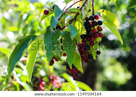 berries, a tree with berries, branches with berries #1149504164