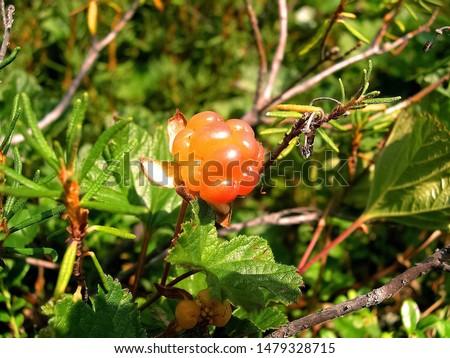 Berries cloudberries in the clearing. Tundra berries #1479328715