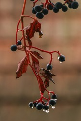 Berries of a Virginia creeper during the autumn. Each berry contain oxalic acid which makes them toxic for humans