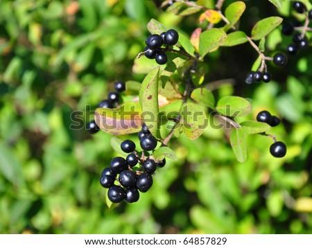 Berries of alder buckthorn (Frangula alnus)