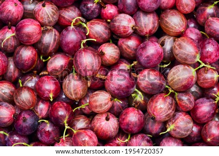 Berries of red juicy gooseberry close-up. Fresh gooseberries as a background. Gooseberry harvest. Stock photo ©