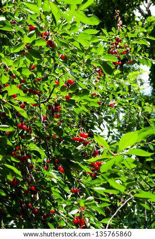 Berries of ripe cherry on a tree