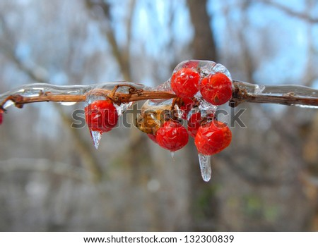 Berries on an icy branch.