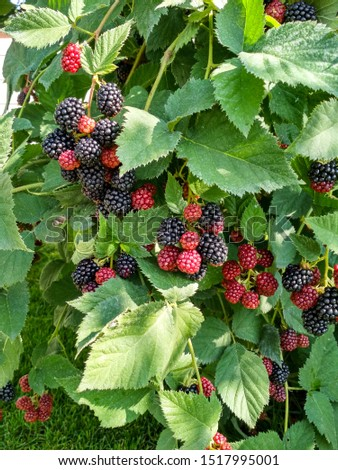 Berry background. Close up of ripe blackberry. Ripe and unripe blackberries on the bush with selective focus.