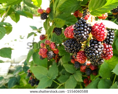 Berry background. Close up of ripe blackberry. Ripe and unripe blackberries on the bush with. Selective focus. #1556060588