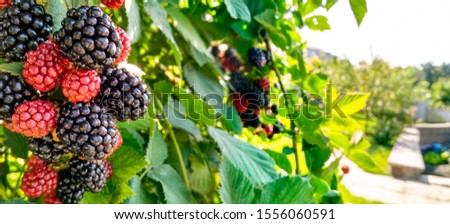 Berry background. Close up of ripe blackberry. Ripe and unripe blackberries on the bush with. Selective focus. #1556060591