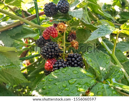 Berry background. Close up of ripe blackberry. Ripe and unripe blackberries on the bush with. Selective focus. #1556060597