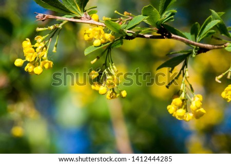 Berry barberry flowers Prickly bush with small red sour berries, and also berries #1412444285