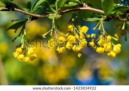 Berry barberry flowers Prickly bush with small red sour berries, and also berries #1423834922