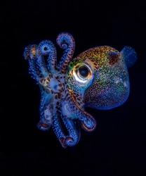 Berry's Bobtail Squid - Euprymna berryi hunting in the night. Amazing underwater world of Tulamben, Bali, Indonesia.