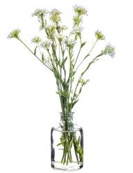Berteroa incana (hoary alyssum or false hoary madwort) in a glass vase with water