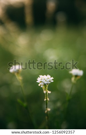 Berteroa Incana Is A Species Of Flowering Plant In The Mustard Family, Brassicaceae. Native To Eurasia And It Has Been Introduced To Western Europe And North America