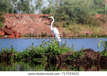 best beautiful big white egret bird  on red lotus lake in thailand,beautiful landmark of north east thailand