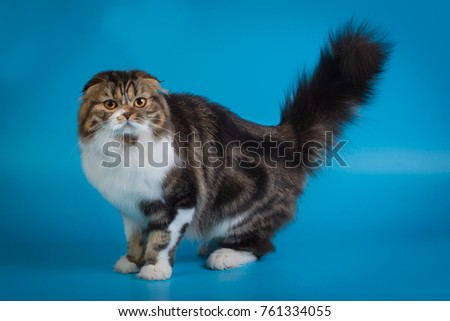 best cat show cat of all breeds