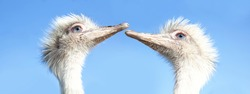 Best friends. Two white rheas are kissing with clear blue sky background, white Nandu large ratites Animal head. native to South America, related to the ostrich and emu. close up