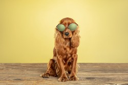 Best teacher. English cocker spaniel young dog is posing. Cute playful brown doggy or pet sitting in eyewear isolated on yellow background. Concept of motion, action, movement, pets love. Looks cool.