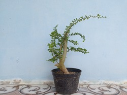 Best Types of Bonsai Plants - Bonsai plants are dwarfed trees and can usually be planted in a potted plant. Usually, bonsai plants are made as miniatures of the original form of large, old trees in th