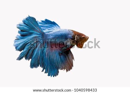 Beta Fish, Fighting Fish