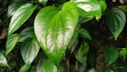 Betel leaf is very useful for health, can also be used as a traditional herb and medicine. The betel or Piper betle in West Java, Indonesia. Betel leaf is mostly consumed in Asia,  as betel quid or in