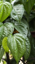 Betel leaves (Piper betle) or Daun Sirih in Indonesian