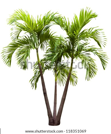 betel palm tree isolated on white