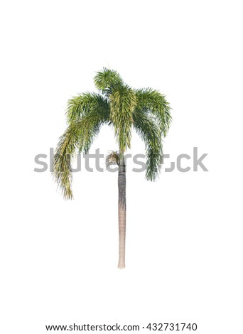 Betel palm tree isolated on white background - Shutterstock ID 432731740