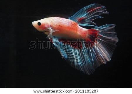 Betta fish (Betta sp.), freshwater ornamental fish originating from Southeast Asia. Stok fotoğraf ©