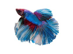 betta fish blue red and white color by close up isolated siamese fighting fish with clipping path on white background a beautiful vivid abstract fancy fin and tail of aquqtic animal