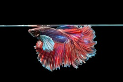 Betta fish Crown tail or Siamese fighting fish on black background. High Resolution Picture