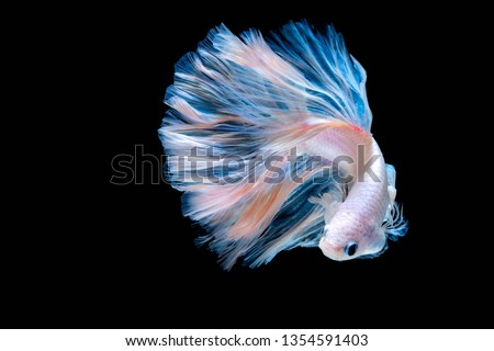 Betta fish Fight in the aquarium black blackground